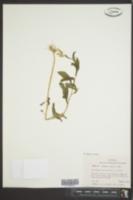 Erechtites hieraciifolia image