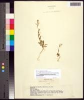 Image of Planodes virginicum