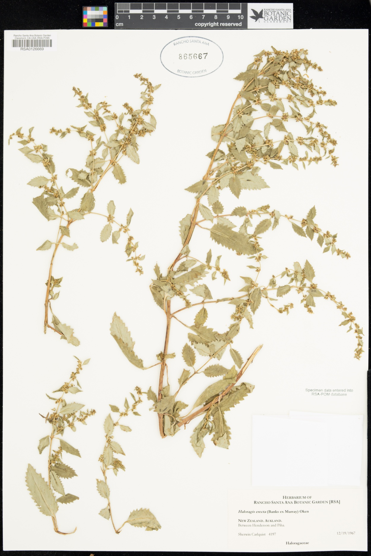Haloragis erecta image