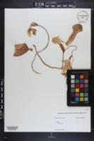 Image of Heliamphora nutans