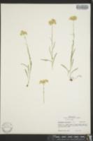 Image of Antennaria luzuloides