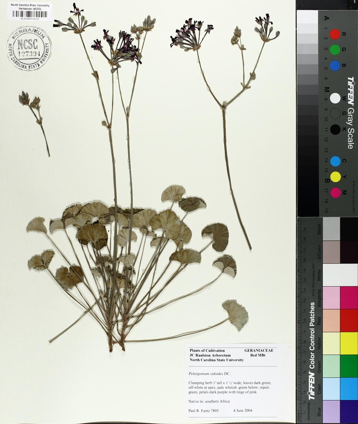 Pelargonium sidoides image