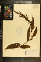 Rumex obtusifolius image