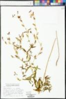 Rhexia mariana var. mariana image
