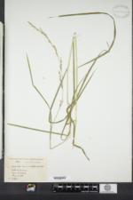 Glyceria melicaria image