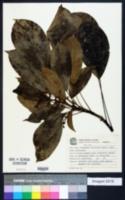 Oreopanax capitatus image