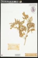 Croton capitatus image