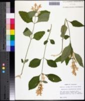 Image of Scutellaria pseudoserrata