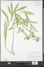Centaurea jacea image