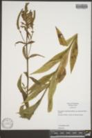 Physostegia virginiana image