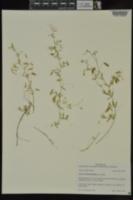Vicia tetrasperma image