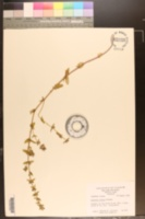 Sophronanthe pilosa image
