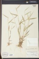 Image of Panicum barbatulum