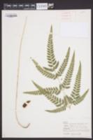Arachniodes simplicior image
