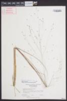 Eragrostis campestris image
