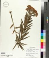 Asclepias tuberosa subsp. interior image