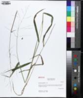Leersia oryzoides image