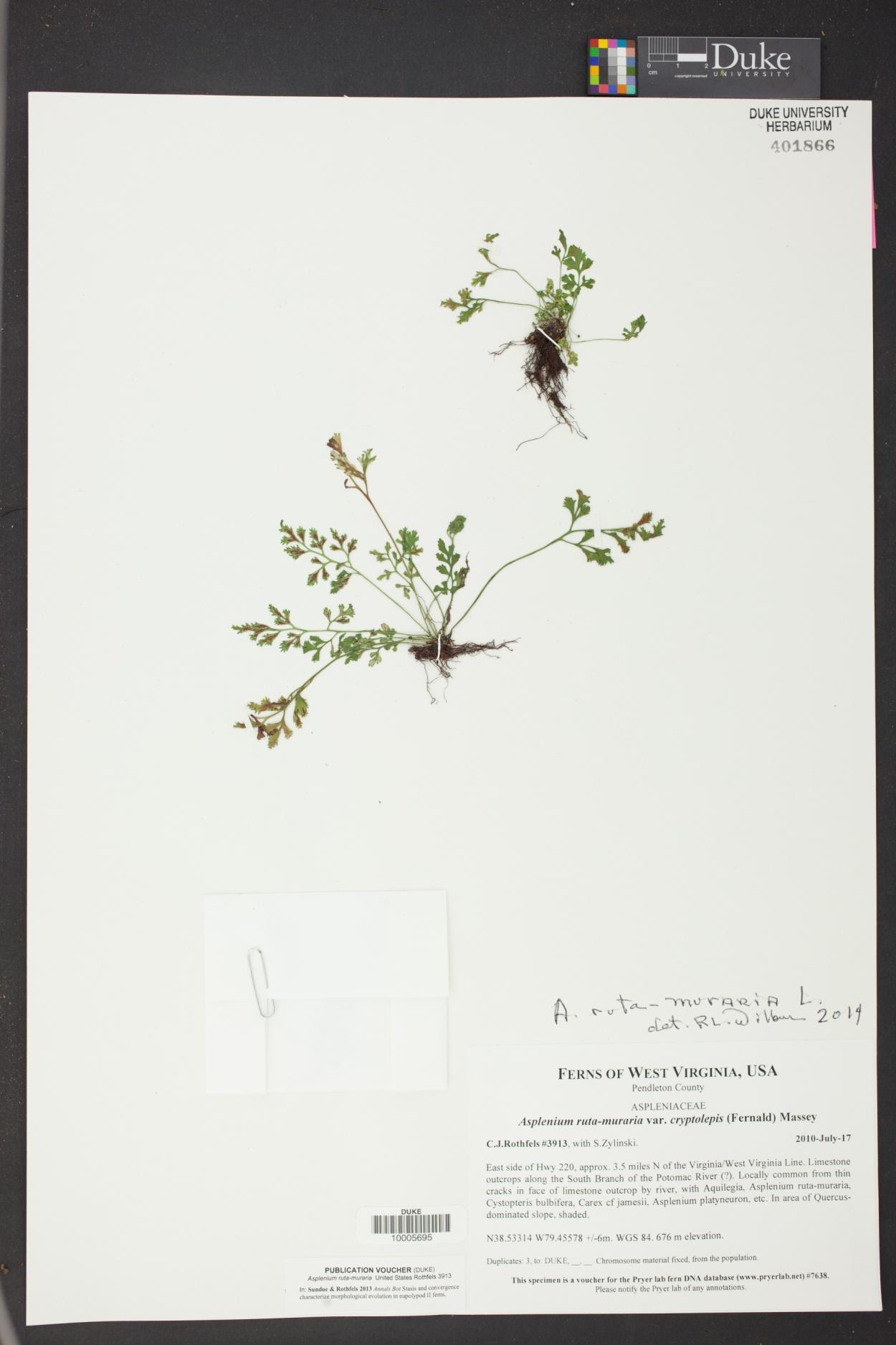 Asplenium ruta-muraria var. cryptolepis image