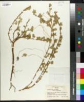 Image of Arachis villosa