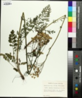 Packera millefolium image