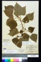 Image of Populus x canadensis