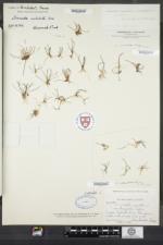Limosella australis image