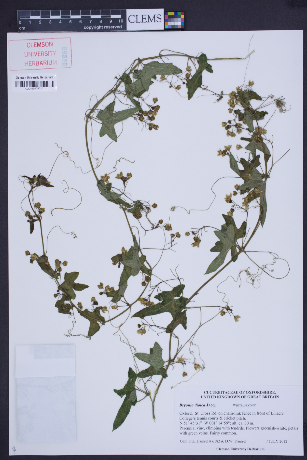 Bryonia dioica image