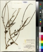 Image of Stachytarpheta straminea