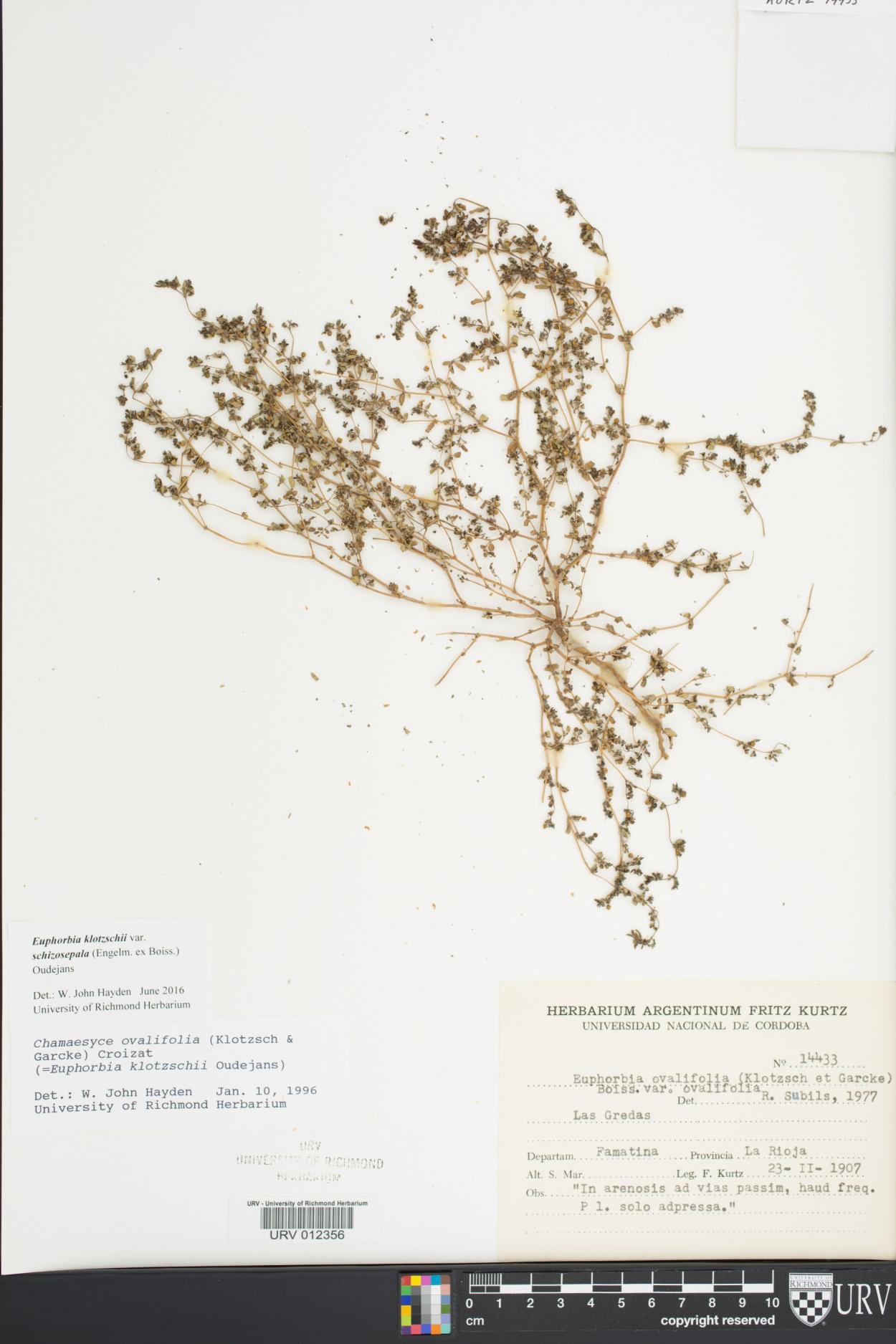 Euphorbia klotzschii image