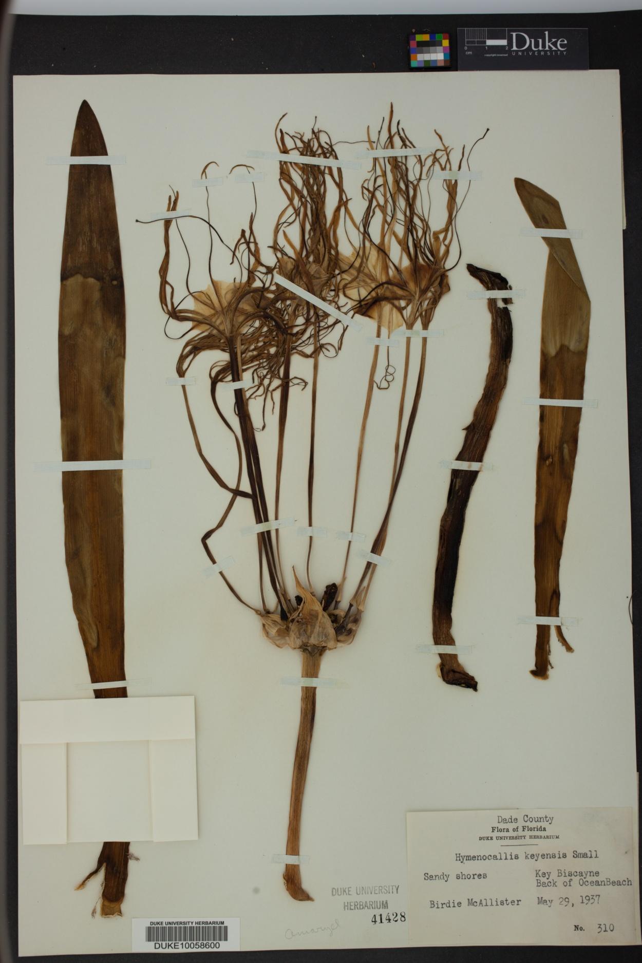 Hymenocallis keyensis image