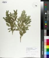 Image of Buxus bodinieri