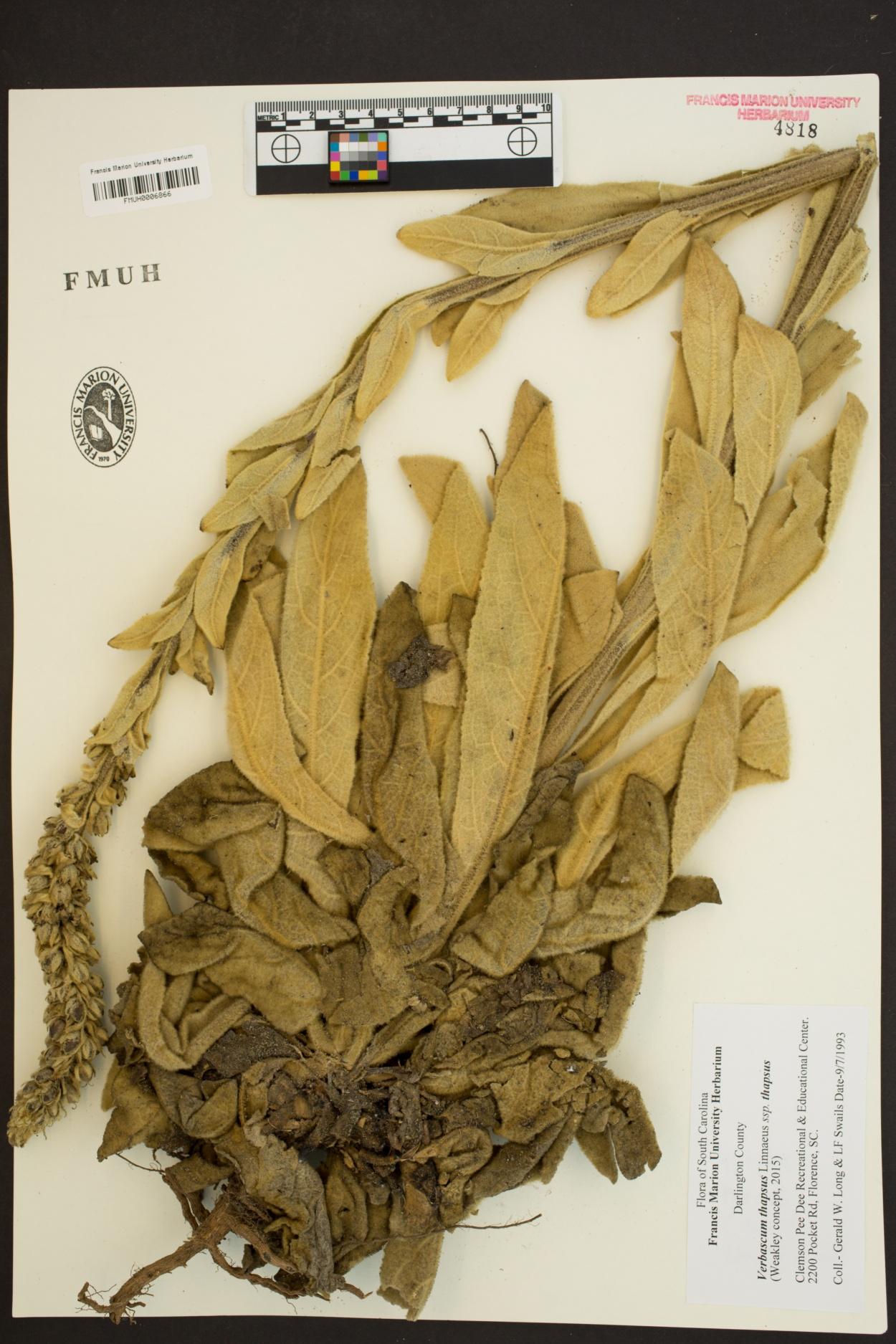 Verbascum thapsus subsp. thapsus image