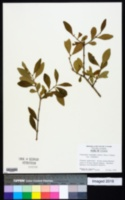 Forestiera segregata image