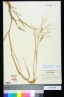 Panicum dichotomiflorum image