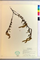 Betula pendula image