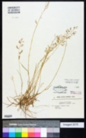 Eragrostis elongata image
