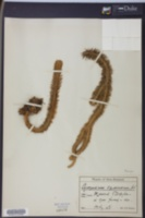 Image of Huperzia squarrosa