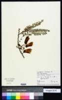 Image of Sophora microphylla