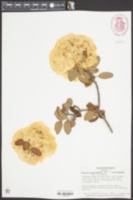 Viburnum macrocephalum image