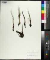 Isoëtes melanopoda image