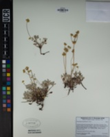 Eriogonum marifolium image