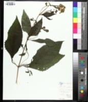 Eutrochium steelei image