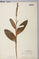Platanthera flava image