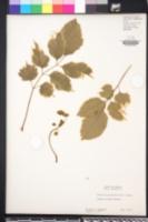 Polyscias guilfoylei image