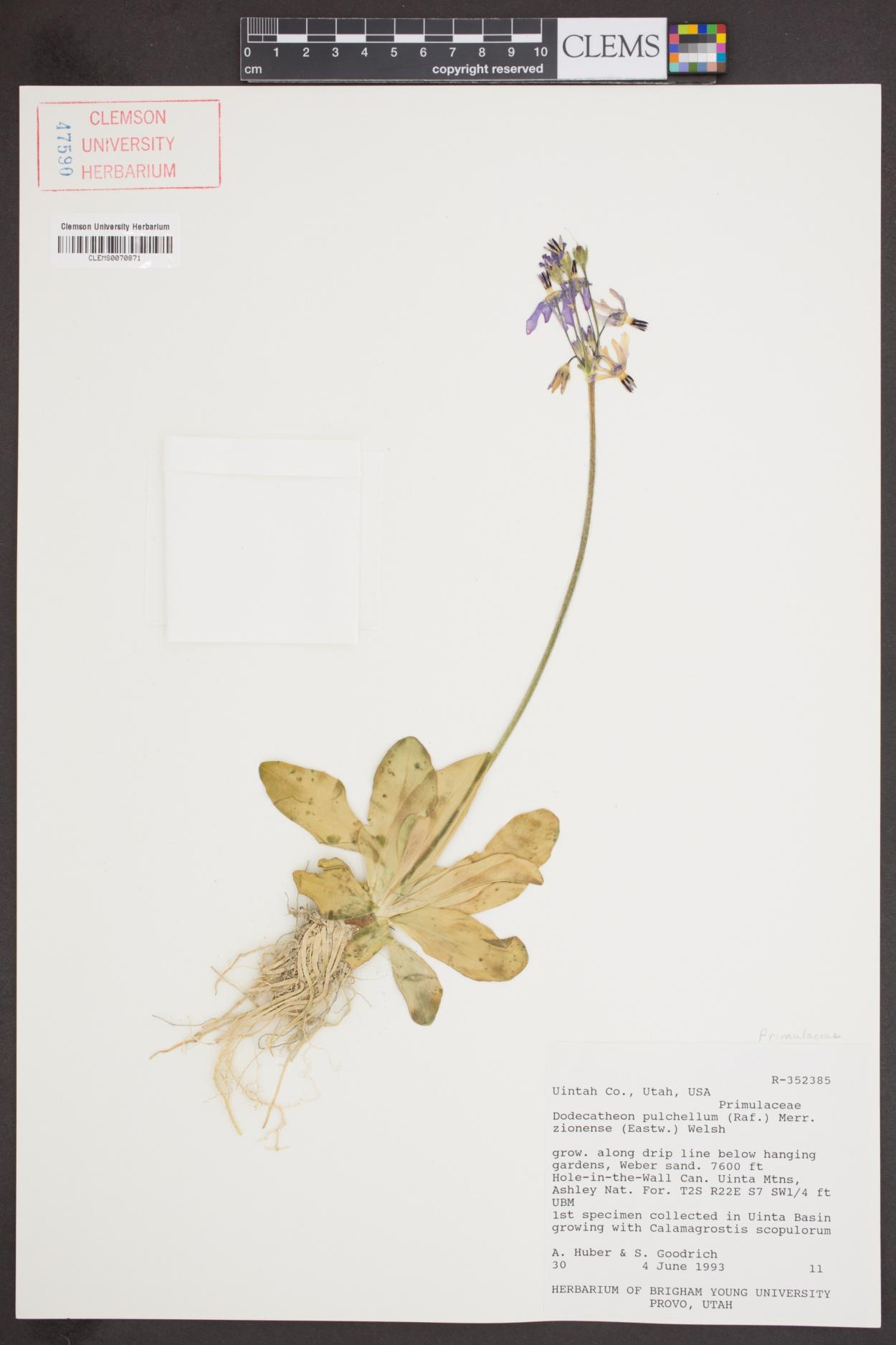 Primula pauciflora var. zionensis image