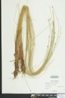 Eleocharis fallax image