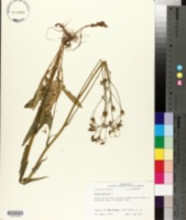 Crepis pulchra image
