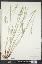 Carex virescens image