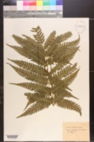 Image of Pteris wallichiana
