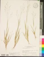 Image of Panicum lithophilum